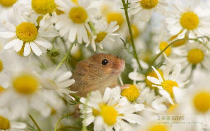 Мышь малютка среди ромашек, фото фотография картинка обои