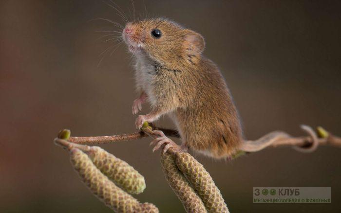 Мышь-малютка на березовой ветке, фото фотография картинка обои