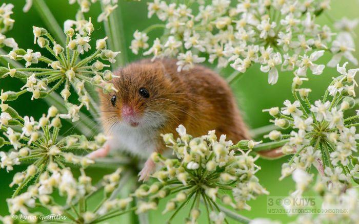 Мышь-малютка в цветущей траве, фото фотография картинка обои