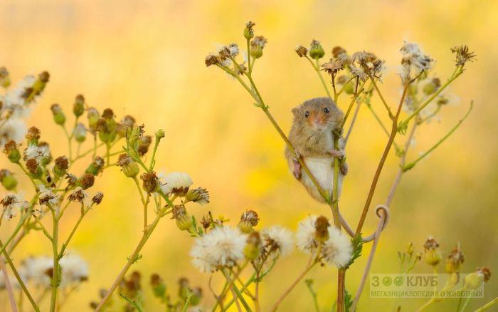 Мышь-малютка все видит сверху, фото фотография картинка обои