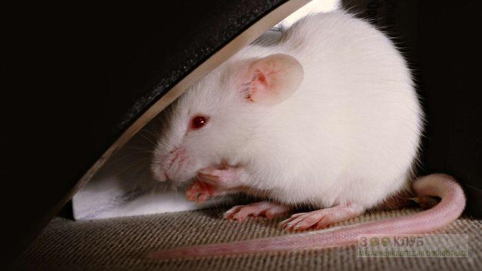 Белая мышь фото, фото фотография картинка обои