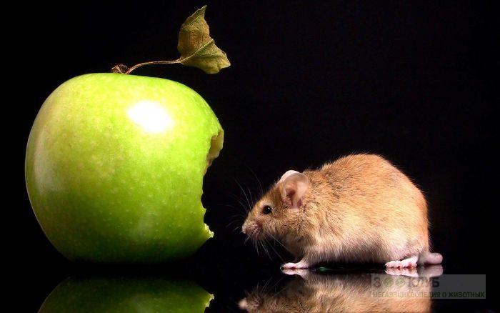 Мышь и яблоко, фото фотография картинка обои
