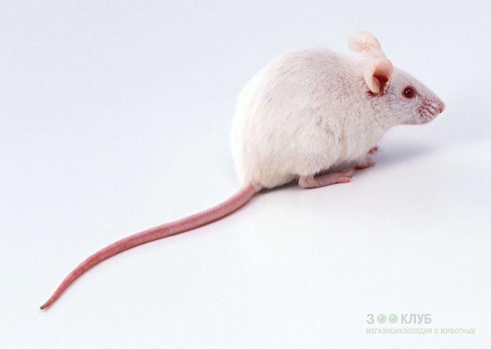 Лабораторная мышь, фото фотография картинка обои