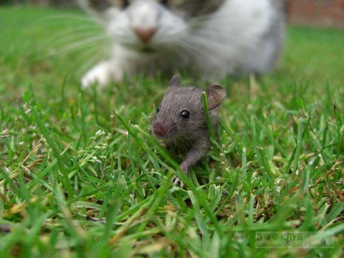 Кошка охотится за мышонком, фото фотография картинка обои