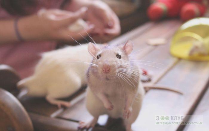 Декоративная крыса, фото фотография картинка обои