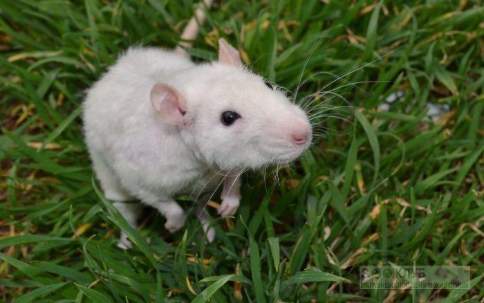 Белая крыса в траве, фото фотография картинка обои