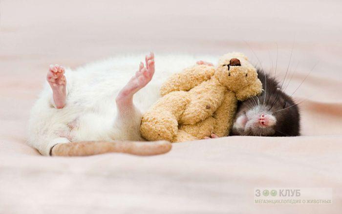 Спящая крыса фото, фото фотография картинка обои