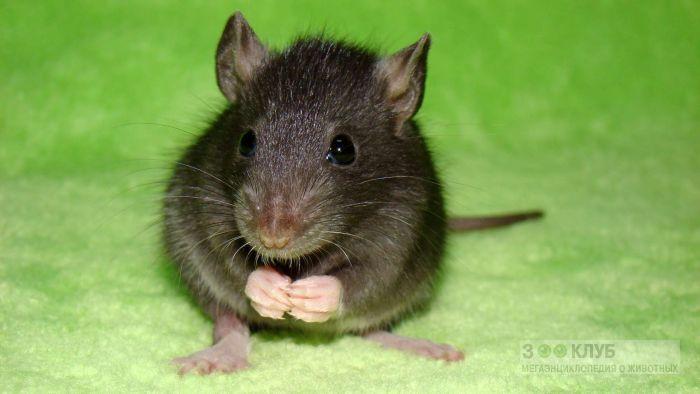 Черный крысенок фото, фото фотография картинка обои