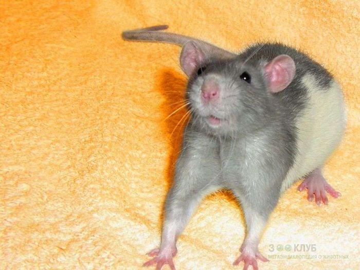 Напуганная крыса, фото фотография картинка обои