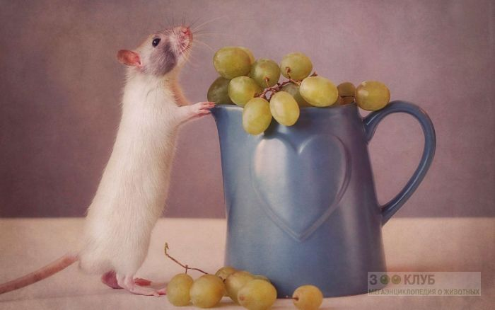Крыса и виноград, фото фотография картинка обои