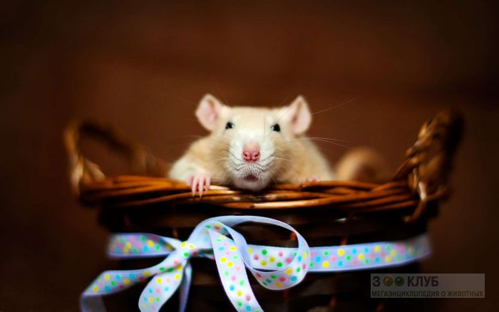 Крыса - красавица, фото фотография картинка обои
