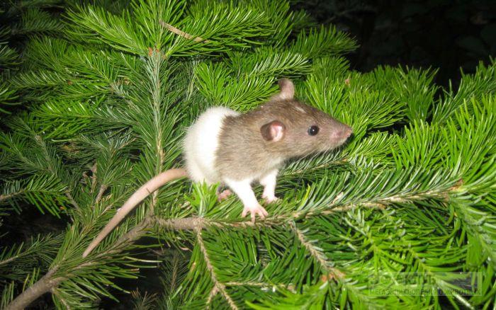 Капюшоновая крыса на елке, фото фотография картинка обои
