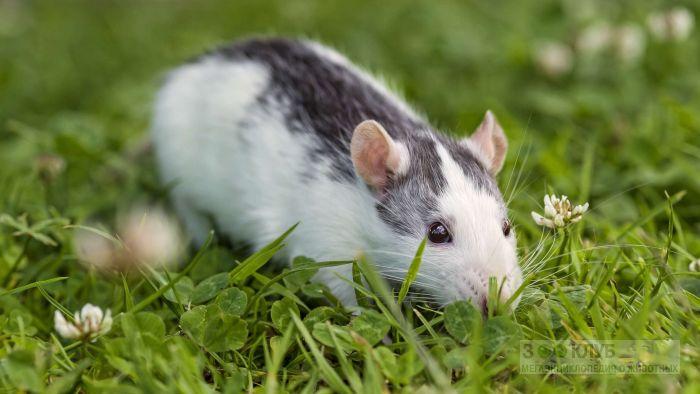 Крыска гуляет по траве, фото фотография картинка обои