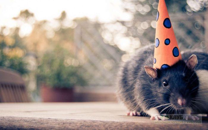 Крыса в праздничном колпачке, фото фотография картинка обои