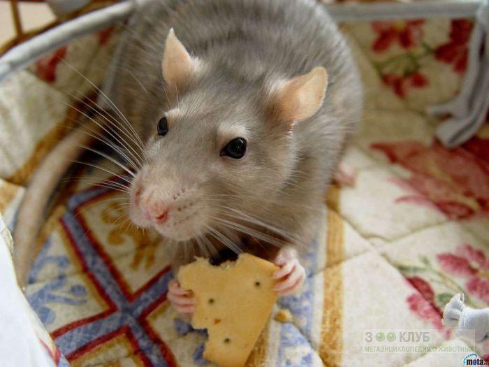 Крыса держит в лапках печенье, фото фотография картинка обои