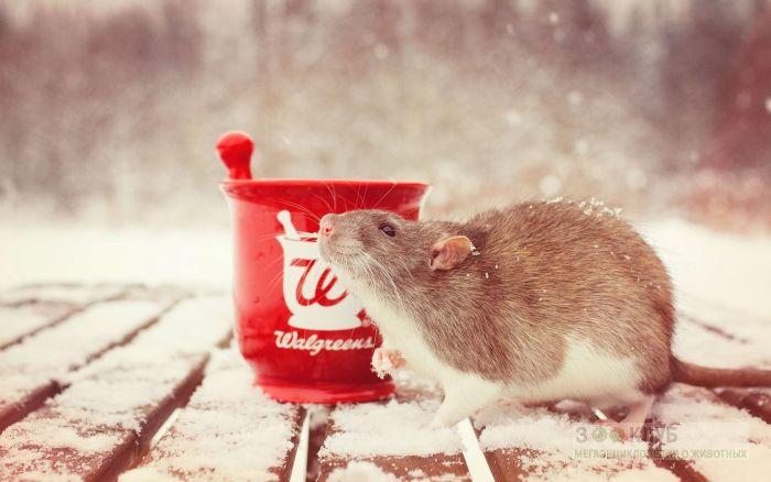 Декоративная крыса и снег фото, фото фотография картинка обои