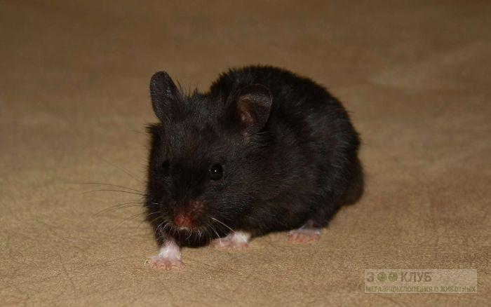 Черная мышь, фото фотография картинка обои