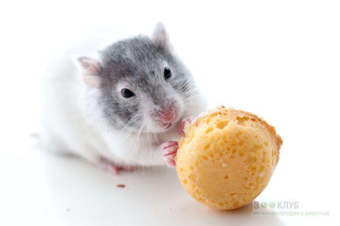 Крыса играет с печенькой, фото фотография картинка обои