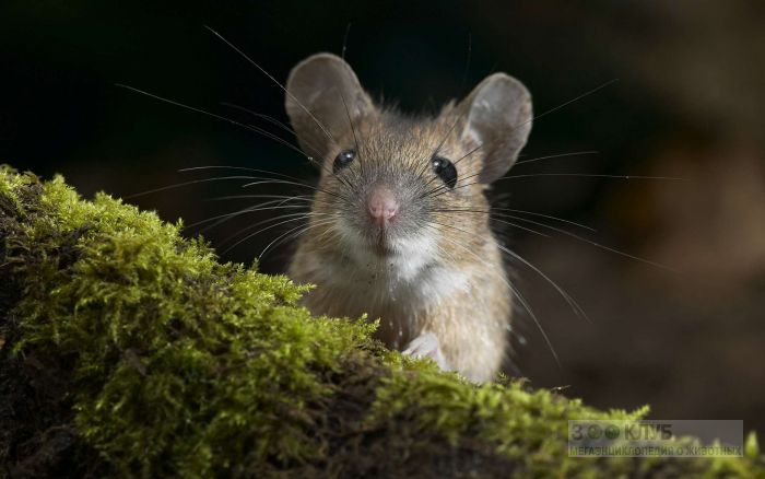 Японская мышь (Apodemus speciosus), фото фотография картинка обои