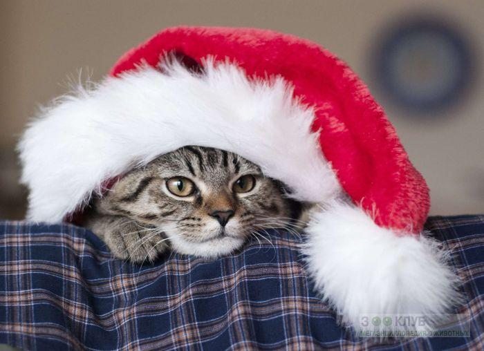 Кот в новогоднем колпаке, фото фотография картинка обои