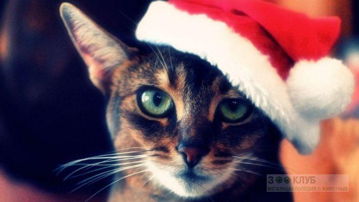 Кот в красной шапке, фото фотография картинка обои