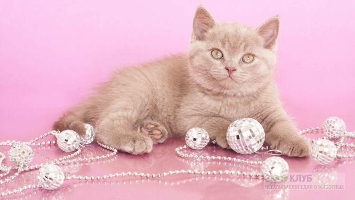 Британский котенок и елочные украшения, фото фотография картинка обои