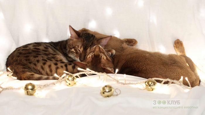 Бенгальская и абиссинская кошки, фото фотография картинка обои