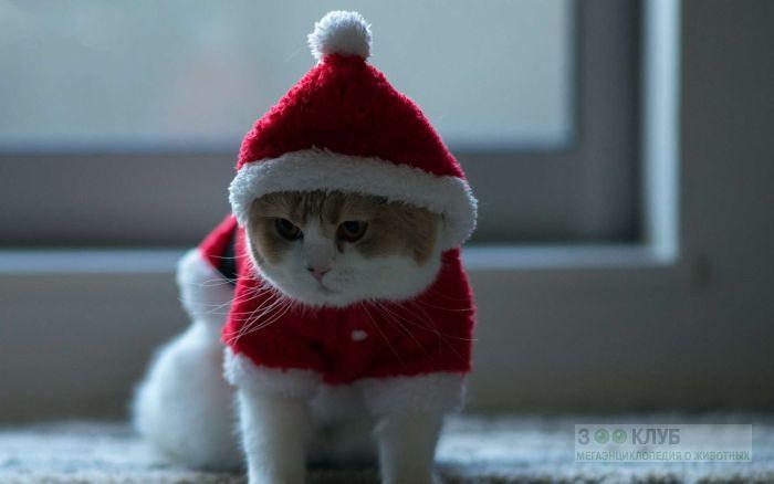 Британская кошка в новогоднем костюме, фото фотография картинка обои