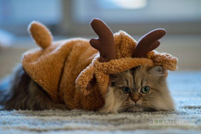 Персидский кот - олень, фото фотография картинка обои