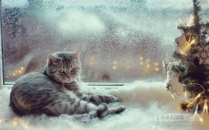 Кошки тоже любят Новый год, фото фотография картинка обои