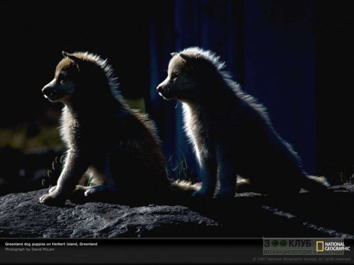 Щенки гренландской собаки, фото фотография картинка обои