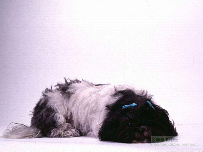Лохматый ши-тцу, фото фотография картинка обои