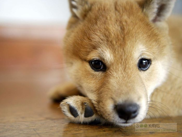 Грустный щенок шиба-ину, фото фотография картинка обои