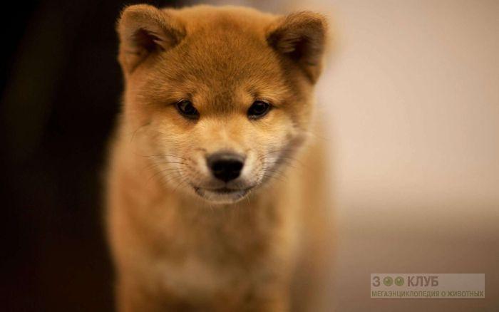 Симпатичный щенок шиба-ину, фото фотография картинка обои
