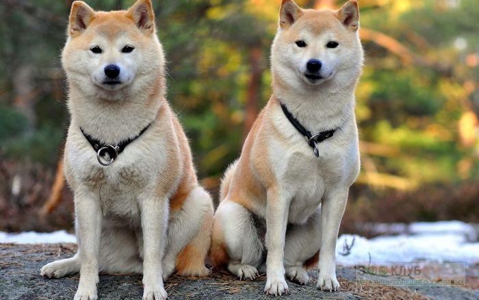Позирующие шиба-ину, фото фотография картинка обои