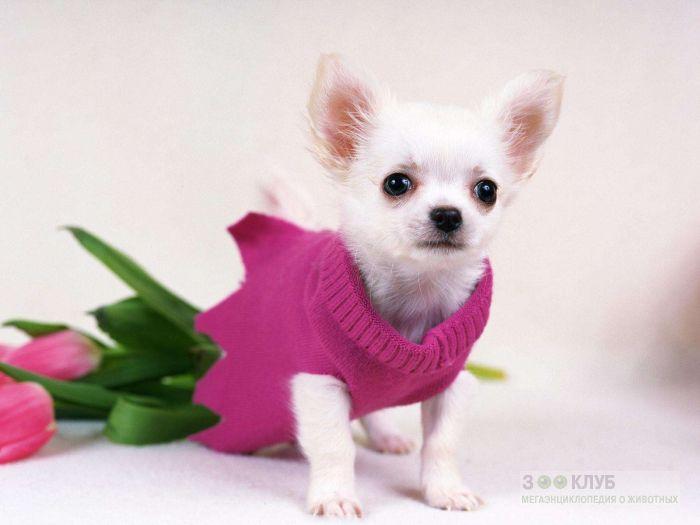 Чихуа - самая маленькая порода собак, фото фотография картинка обои