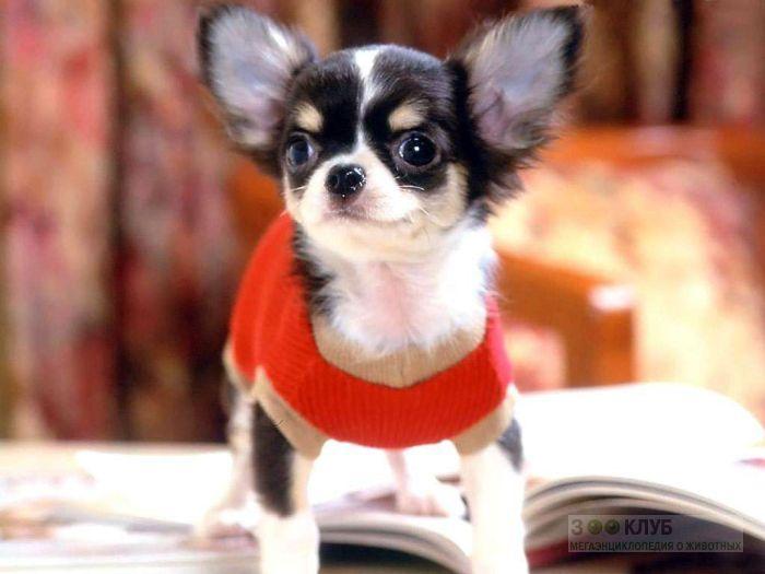 Чихуа хуа - собака маленького размера, фото фотография картинка обои