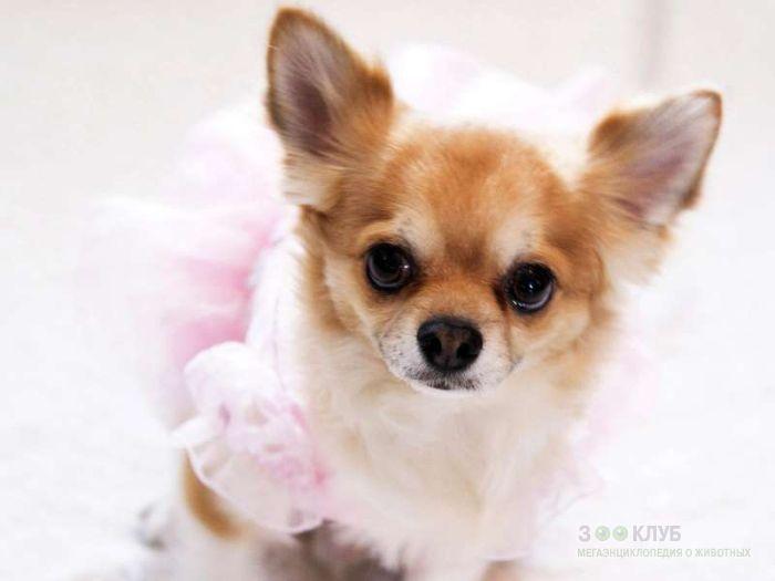 Чихуахуа - маленькая добрая собака, фото фотография картинка обои