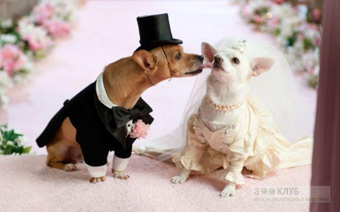 Чихуахуа - жених и невеста, фото фотография картинка обои