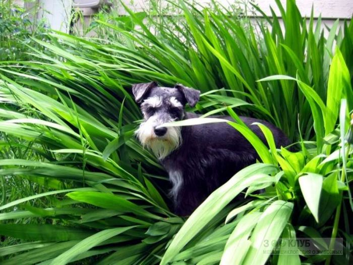 Порода собак цвергшнауцер, фото фотография картинка обои