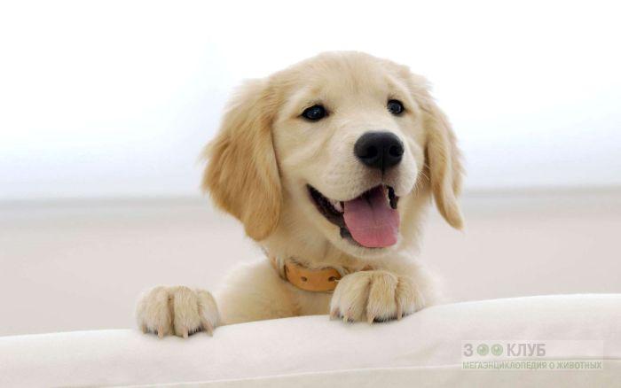 Улыбающийся щенок ховаварта, фото фотография картинка обои