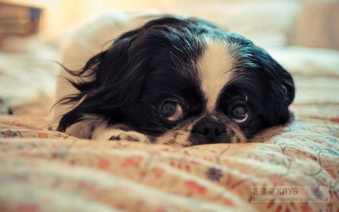 Хин собака, фото фотография картинка обои