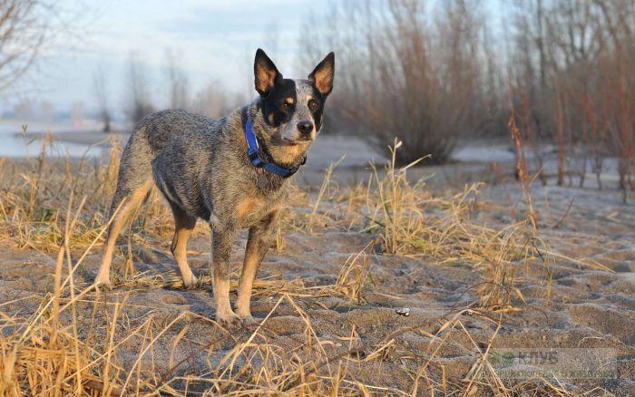 Собака австралийский хилер, фото фотография картинка обои