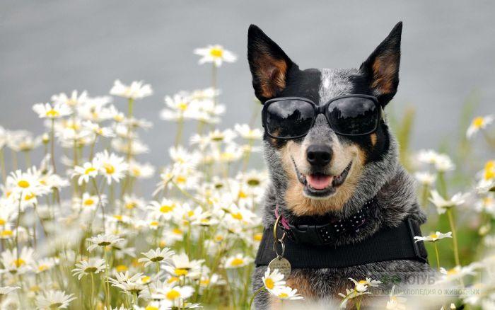 Австралийский хилер в очках, фото фотография картинка обои