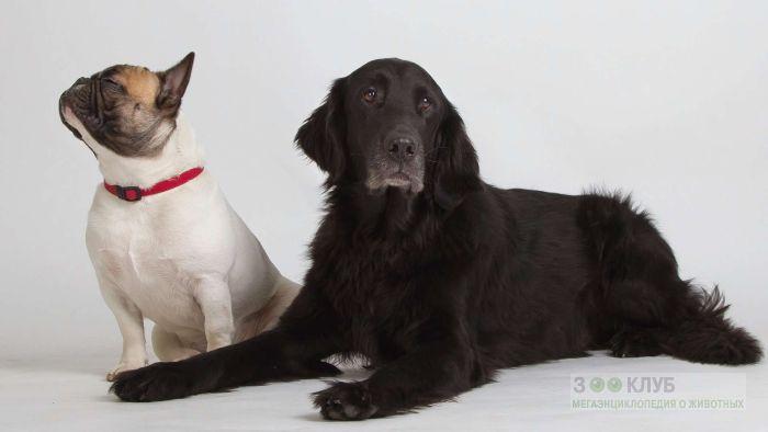 Французский бульдог и черный ховаварт, фото фотография картинка обои