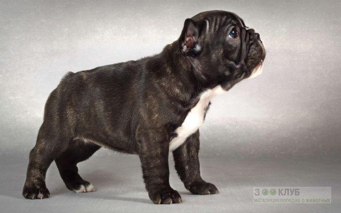 Тигровый щенок французского бульдога фото, фото фотография картинка обои