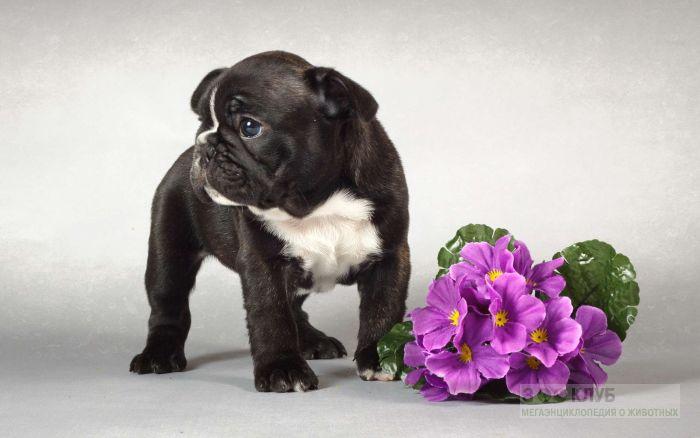 Щенок французского бульдога и цветы, фото фотография картинка обои