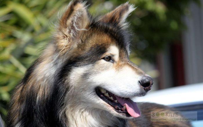 Финская лопарская собака, фото фотография картинка обои