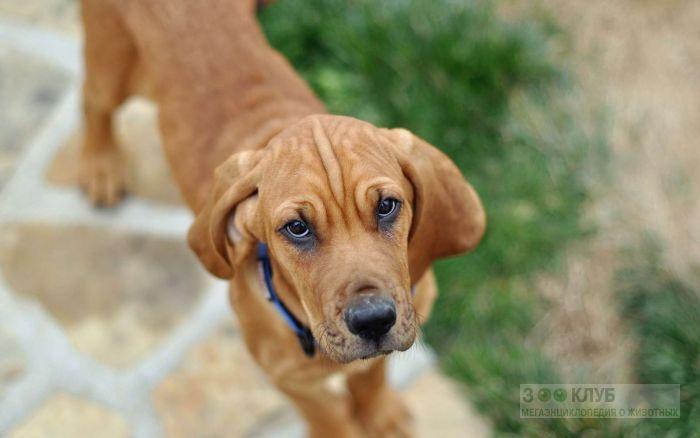 Рыжий щенок фила-бразилейро, фото фотография картинка обои
