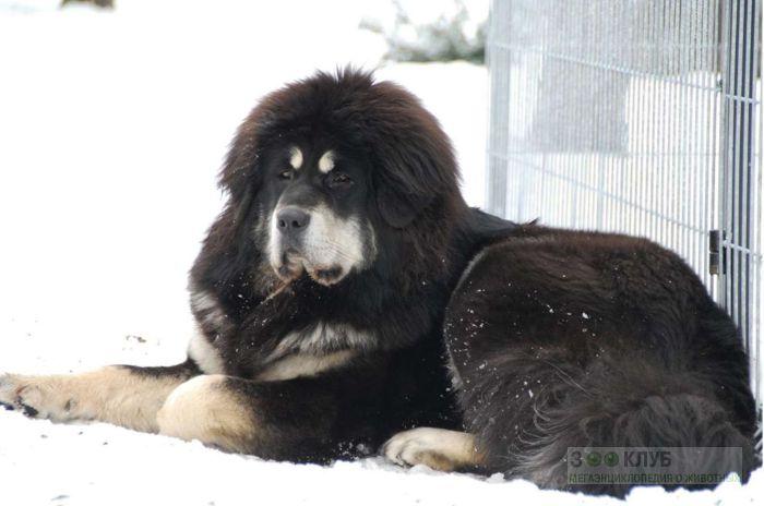 Черно-подпалый тибетский мастиф, фото фотография картинка обои